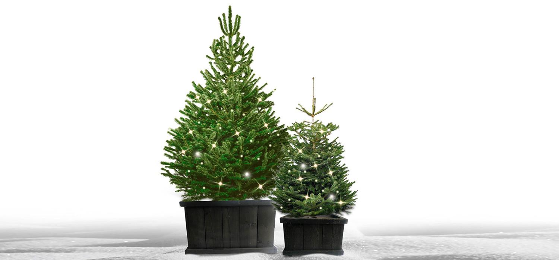 Nordmann kerstboom in kist met verlichting voor buiten bestellen in Aalsmeer